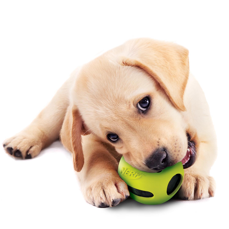 Pet Supplies : Pet Toy Balls : Nerf Dog Crunch and Squeak