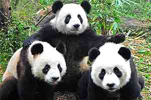 Pandabär Spiele